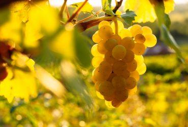 «Cорти винограду в польських Карпатах та вино, вироблене в Підкарпатському воєводстві»