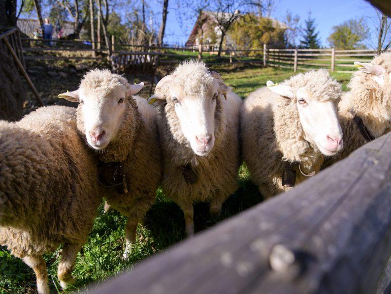 Продовжуємо знайомство з традиціями вівчарської культури