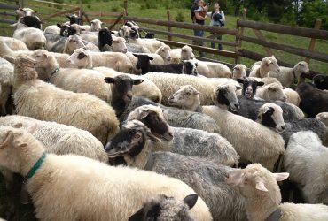 Досліджуємо традиції вівчарської культури та презентуємо трейлер до промоційного фільму
