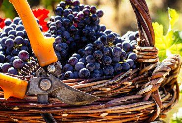 Традиційні сорти винограду та вино Карпат